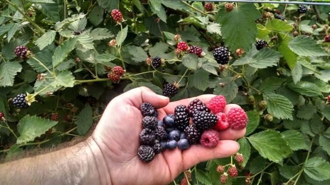 Jay berries