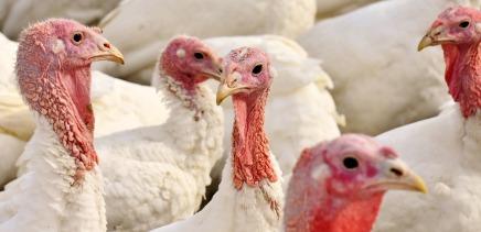 turkeys-2799813_960_720
