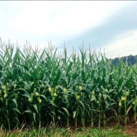 Corn- Gibson2