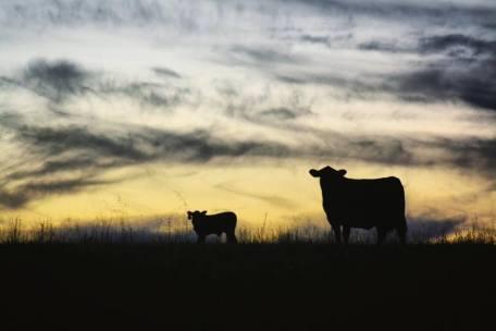 Beth cows