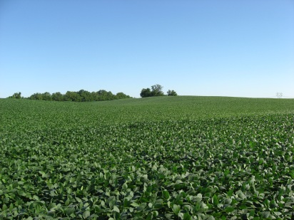 Soybean_fields_at_Applethorpe_Farm