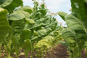 tobacco-1792070_640