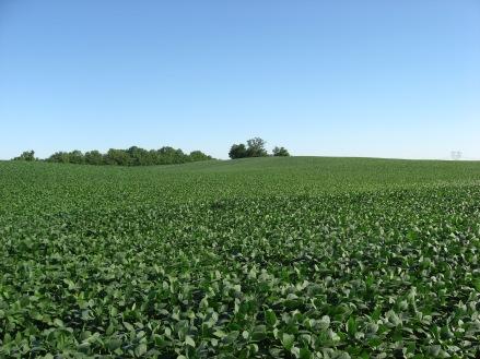 Soybean_fields_at_Applethorpe_Farm