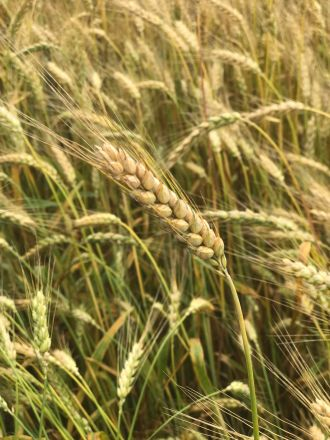 Wheat- pretty