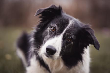 black-and-white-border-collie-3523317